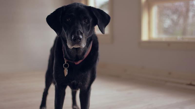 Détecter le cancer de la prostate grâce au flaire d'un chien